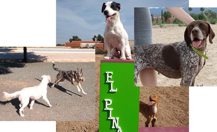 Guardería Canina El Pinar en Murcia., socialización perros